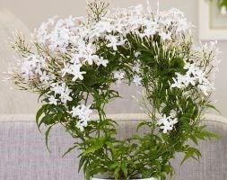 scented Chinese jasmine