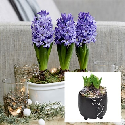 Scented blue hyacinths in a round black ceramic bowl