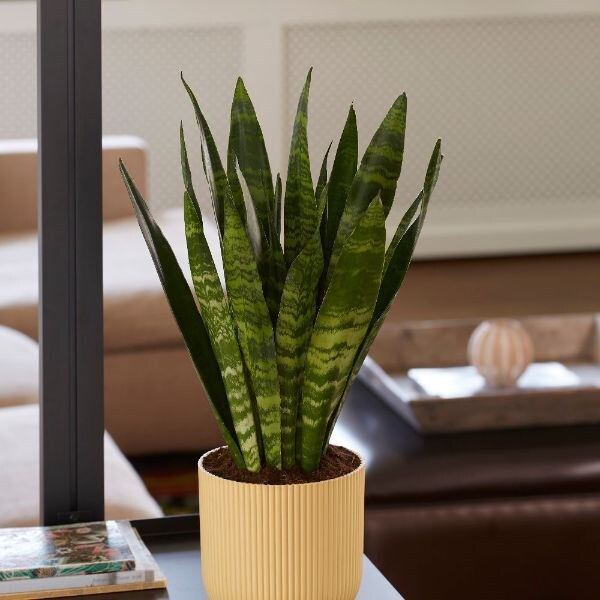 Hanging Basket LG Epipremnum giganteum /'Lemon Lime/'