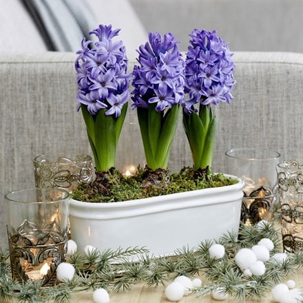 Scented blue hyacinths in a silver ceramic bowl