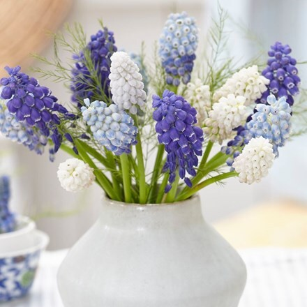 Marvellous muscari grape hyacinth collection