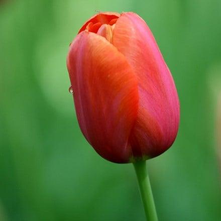 Tulipa Avignon
