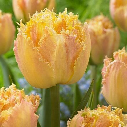 Tulipa Esprit