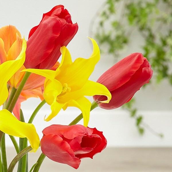 Tulipa Red Proud
