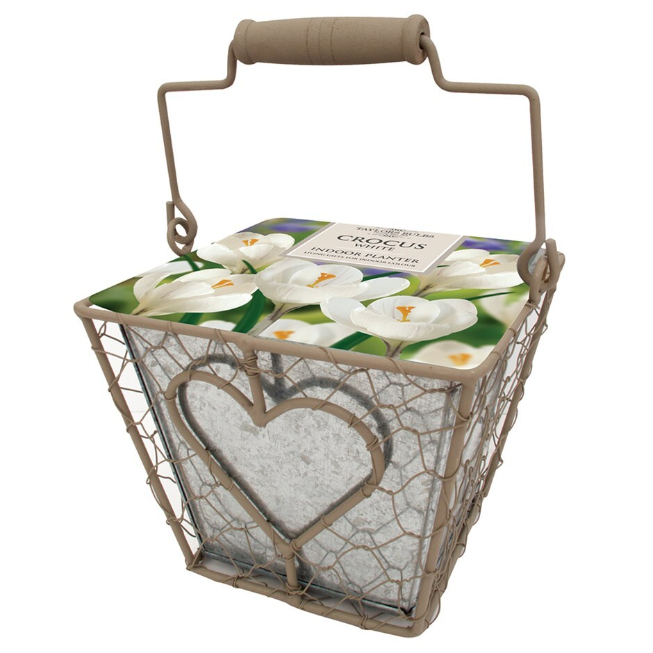 Indoor crocus gift set