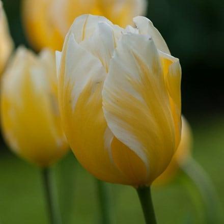 Tulipa Happy People