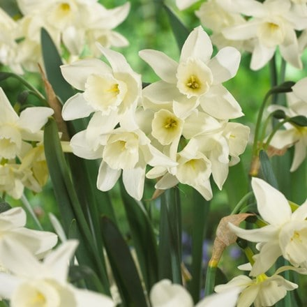 Narcissus Starlight Sensation