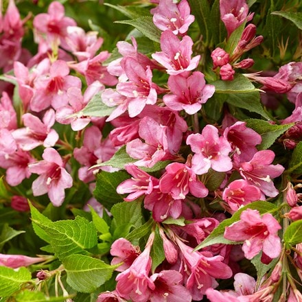 Weigela Picobella Rosa ('Tvp2') (PBR)