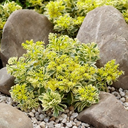 Sedum takesimense Atlantis ('Nonsitnal') (PBR)