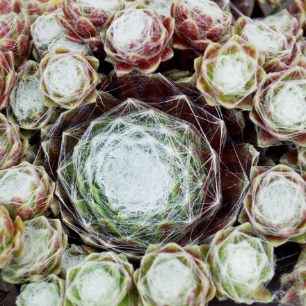 Sempervivum (Chick Charms®) Cotton Candy