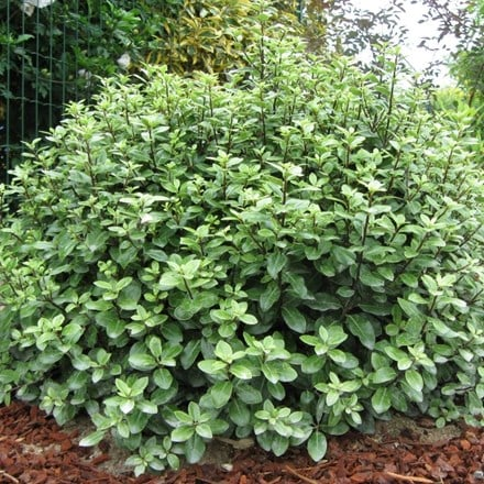 Pittosporum tenuifolium Golf Ball (PBR)