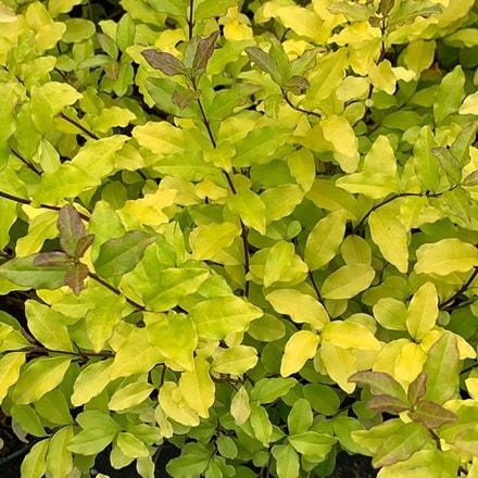 Ligustrum ovalifolium Lemon and Lime