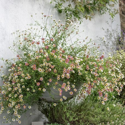 Mexican fleabane & hanging aged ribbed bowl combination