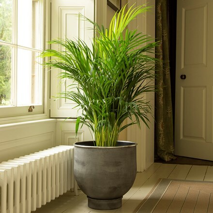 Dypsis lutescens & aluminium urb pot - low combination