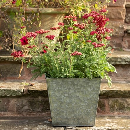 Common yarrow & dark galvanised square planter combination