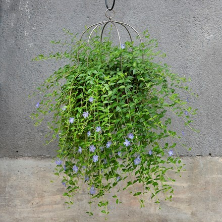 Lesser periwinkle & hanging plant cage - wide combination