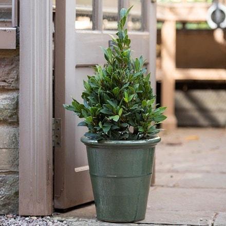 Laurus nobilis & classic glazed pot - sage combination