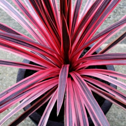 Cordyline Pink Star
