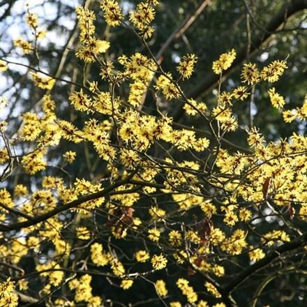 Hamamelis × intermedia Arnold Promise