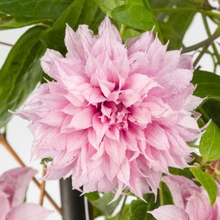Clematis Multi Pink ('ST17333') (PBR)