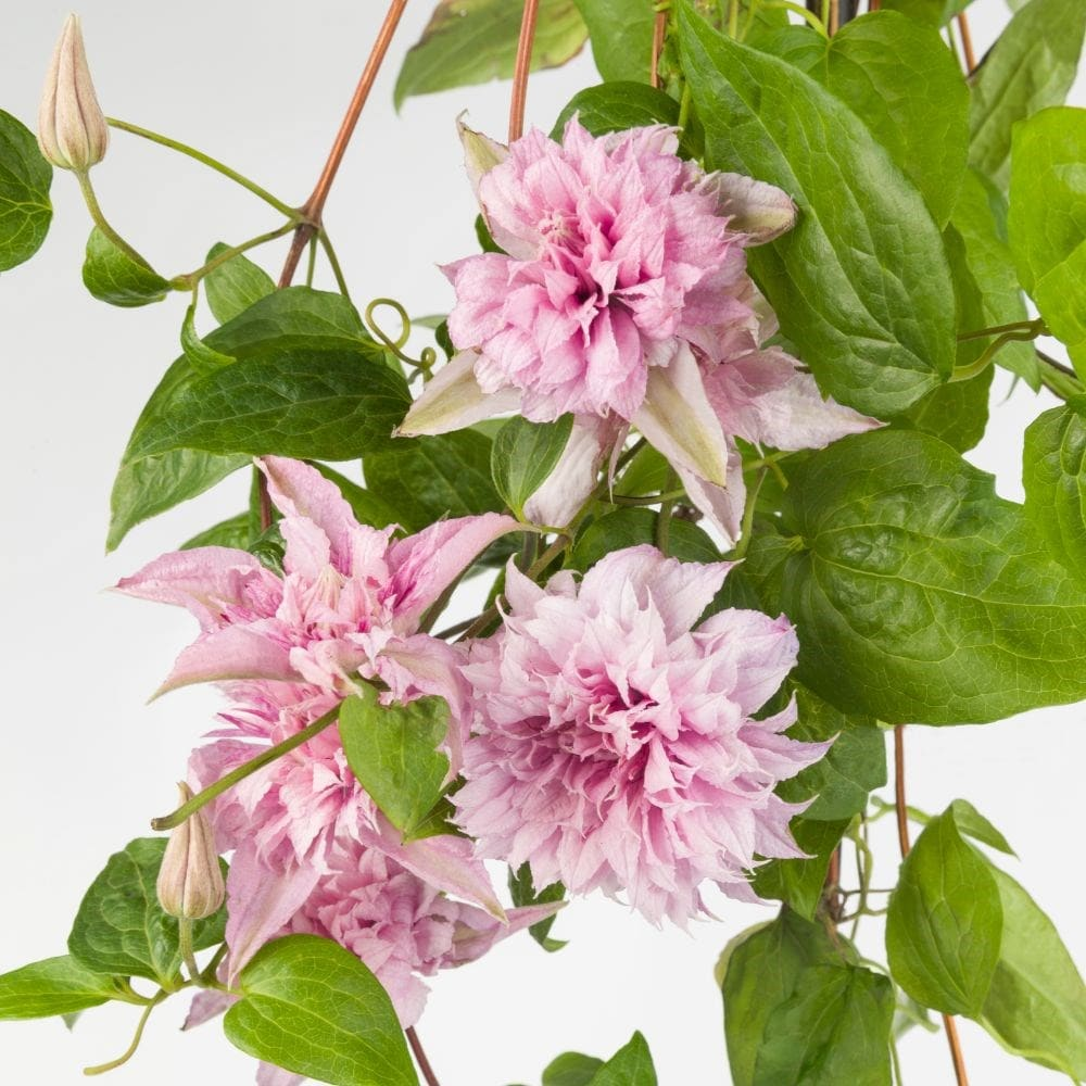 <i>Clematis</i> <b class=small-caps>Multi Pink</b> ('ST17333') (PBR)