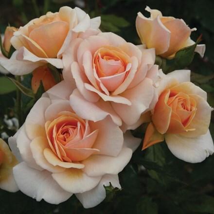 Rosa Sweet Honey ('Kormecaso') (PBR)