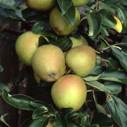 apple Herefordshire Russet (PBR)