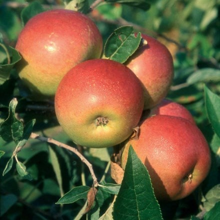 apple Laxton's Superb