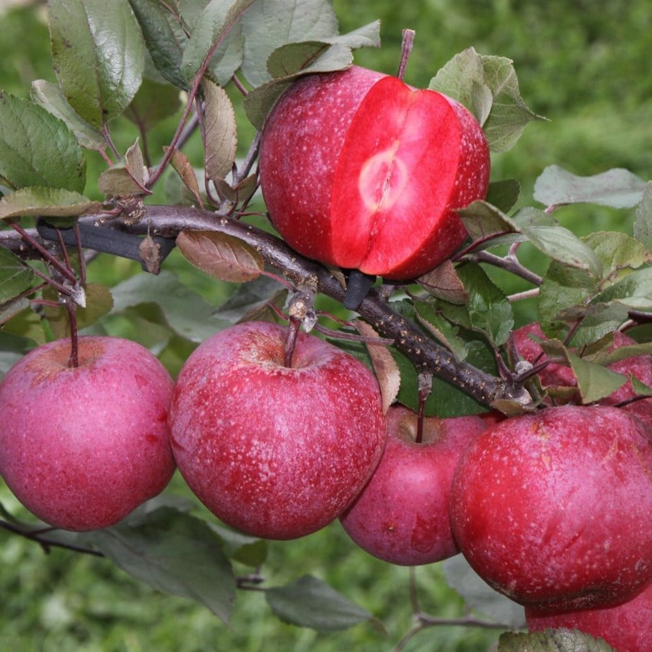 apple tickled pink