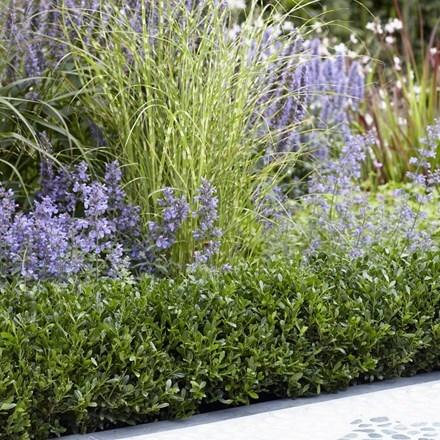 Ilex crenata Luxus® Hedge ('Annys5') (PBR)