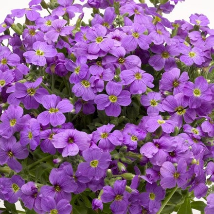 Aubrieta Audrey Light Blue (Audrey Series)
