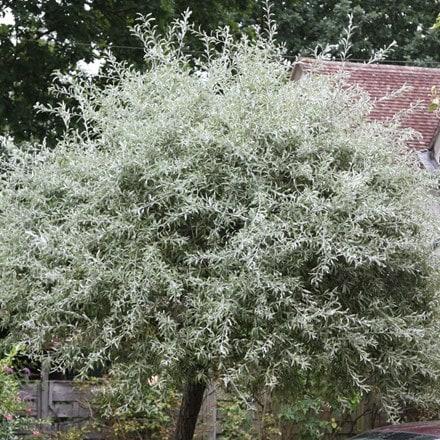 Pyrus salicifolia Pendula