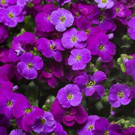 Aubrieta Axcent Deep Purple ('Audelpur') (PBR) (Axcent Series)