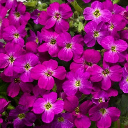 Aubrieta Axcent Lilac ('Audelip') (PBR) (Axcent Series)