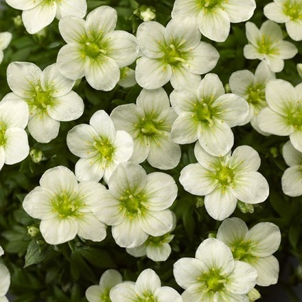Saxifraga Touran White Improved ('Saxz0004') (PBR) (× arendsii)