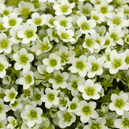 Saxifraga Alpino Early Lime ('Sax20007')