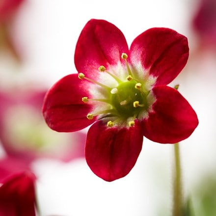 Saxifraga (Mossy Group) Highlander Red