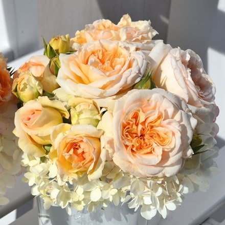 Rosa Timeless Cream ('Audienz') (PBR)