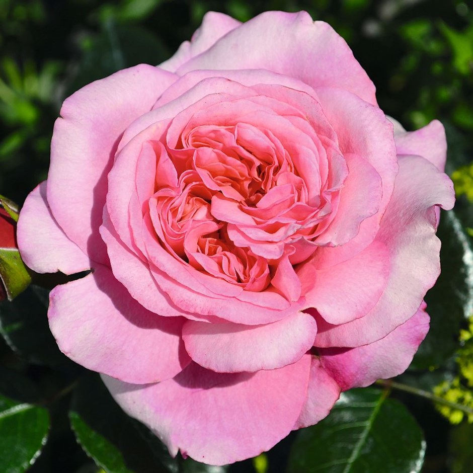 rose Timeless Pink (hybrid tea)