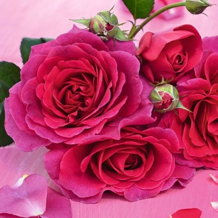 Rosa Timeless Purple (Laudatio) (PBR)