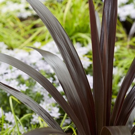 Cordyline obtecta Superstar ('Albatross') (PBR)