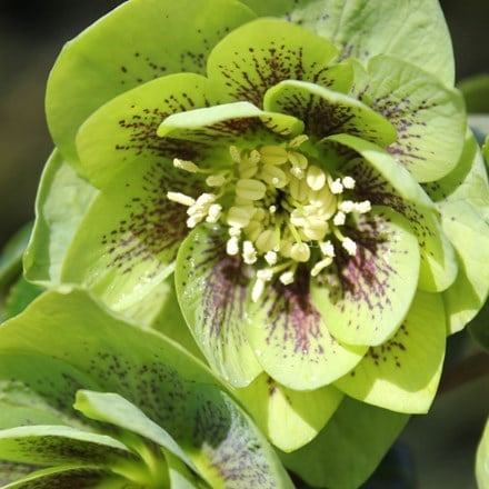 Helleborus × hybridus Harvington double green speckled