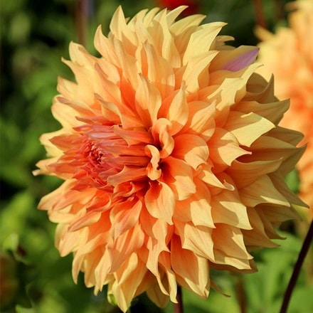 Dahlia Great Hercules