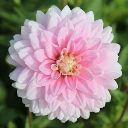 Dahlia Offshore Dream