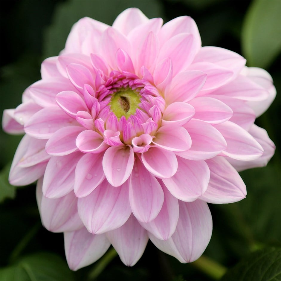 decorative dahlia tuber
