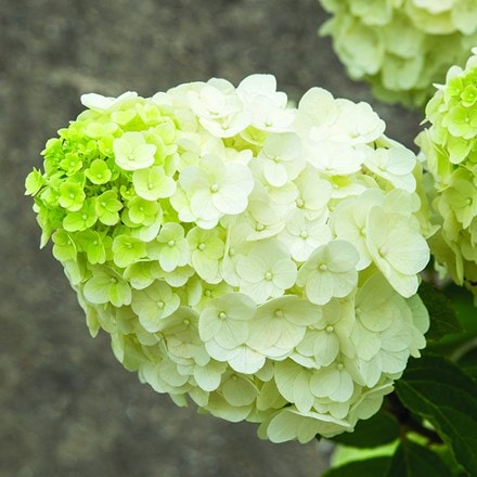 Hydrangea paniculata Magical Mont Blanc ('Kolmamon') (PBR) (Magical Series)