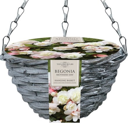 Begonia Mother's Day hanging basket