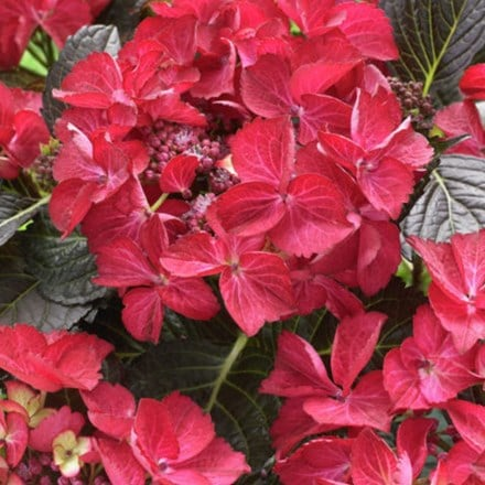 Hydrangea macrophylla Dark Angel Red (PBR) (Black Diamonds Series)