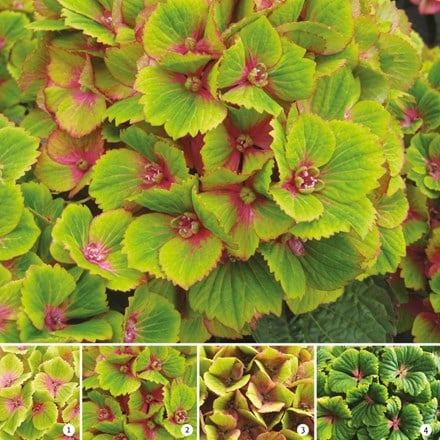 Hydrangea macrophylla Green Delight (Magical Four Seasons) (PBR)