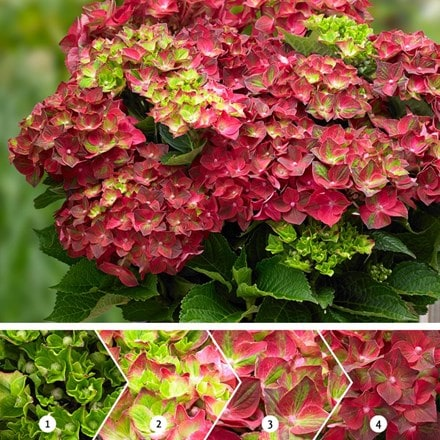 Hydrangea macrophylla Ruby Tuesday (Magical Four Seasons) (PBR)